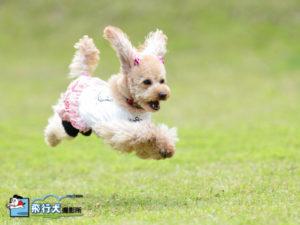 2013年10月12・13・14日伊豆ドッグランド飛行犬撮影会
